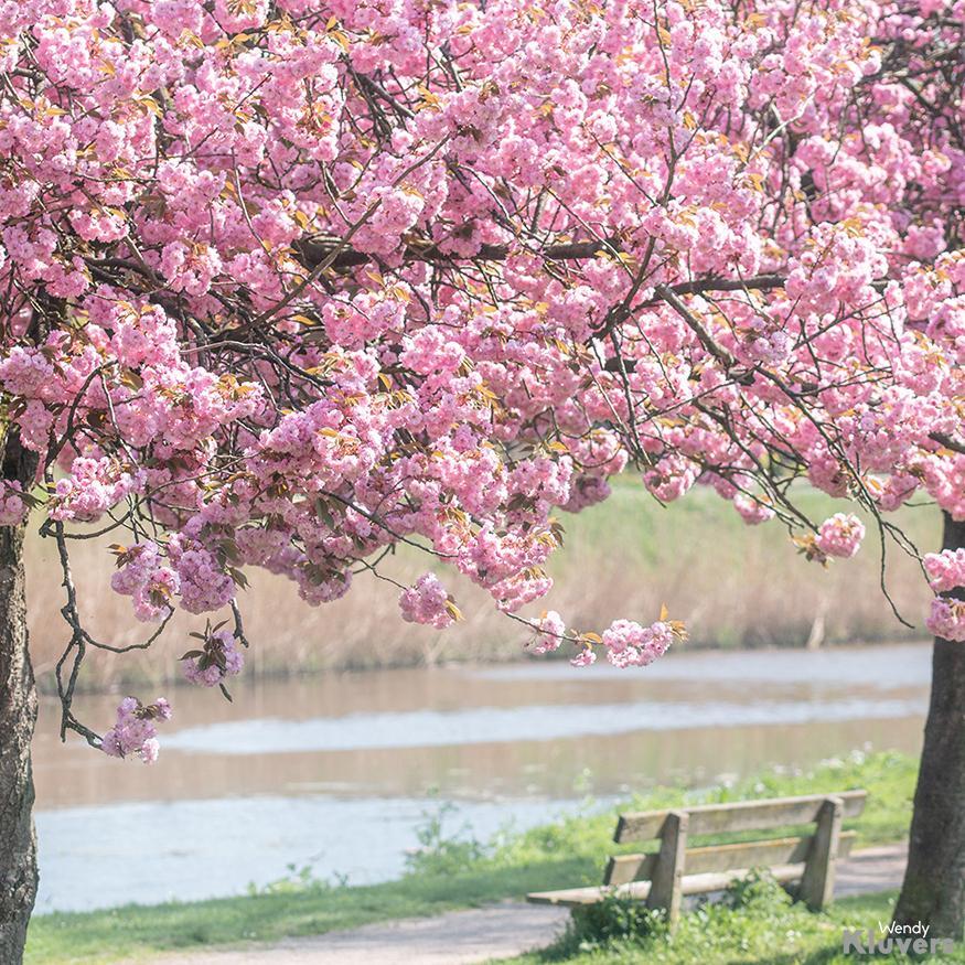 Bloesem met bankje in de lente
