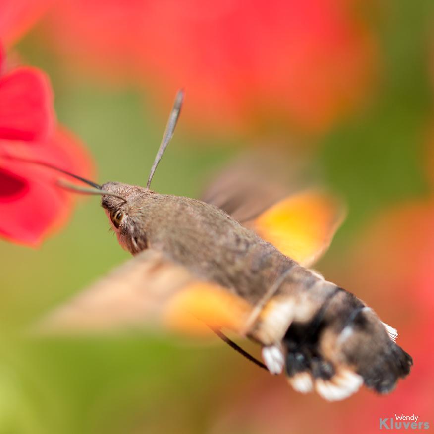 Kolibrie vlinder in Luxemburg